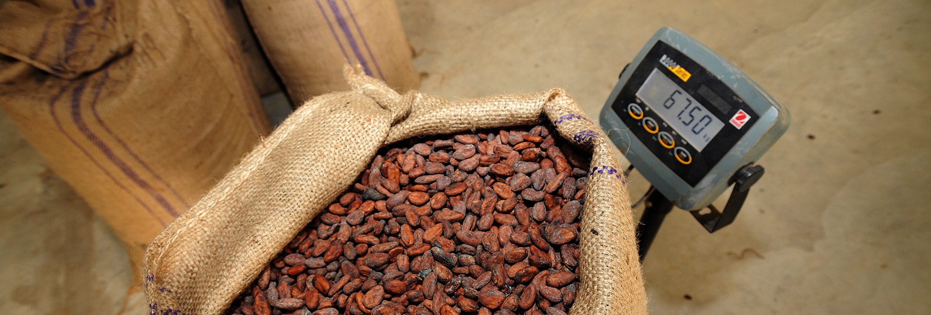 cocoa beans weighing scale